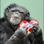 Struggling with a Valentine's gift?  How about a chimp from the Knoxville Zoo?