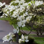 Farragut TN Dogwood Trail is Open! Now Through April 26th.
